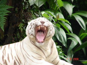 Tiger in the Singapore Zoo, photo taken by Sachin